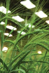 Alberta's Field Crop Development Centre focuses on variety development, and this barley plant is one of thousands of genetic lines in its breeding program.